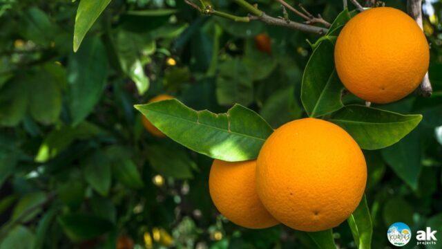 тонкокорные апельсины